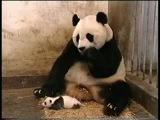 Панда чихнула! XD
